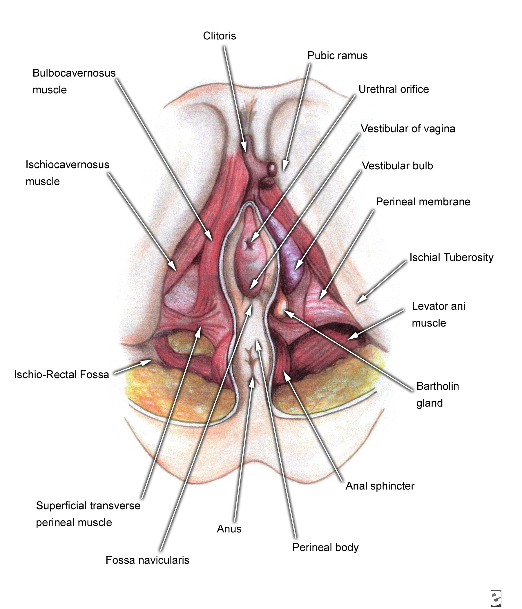 hight resolution of diagram of vagina