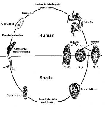 Trematode Infection: Background, Pathophysiology, Epidemiology