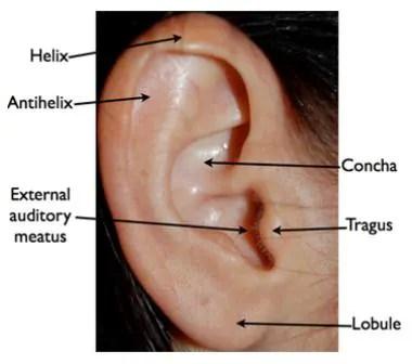 Tragus Piercing Diagram Malignant Otitis Externa Practice Essentials