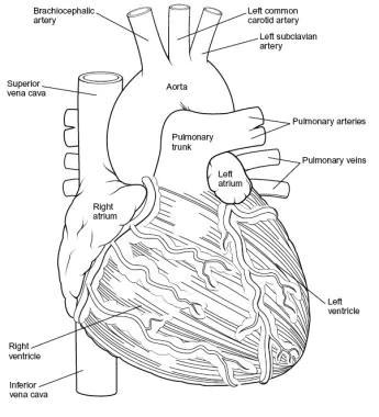 Heart Anatomy: Overview, Cardiac Chambers, Great Vessels