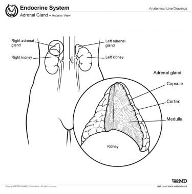 Suprarenal (Adrenal) Gland Anatomy: Overview, Gross