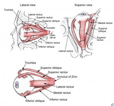 Extraocular Muscle Anatomy Structure Of The Extraocular Muscles