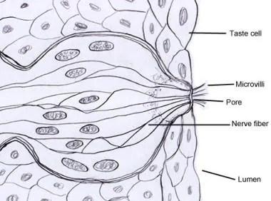 Taste System Anatomy: Overview, Gross Anatomy, Microscopic