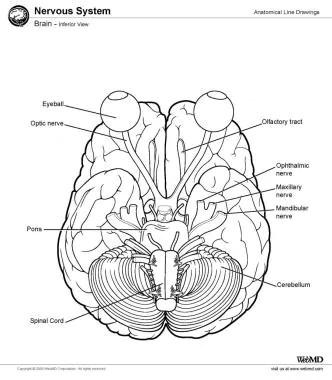 Cerebrum Anatomy Pdf: full version free software download