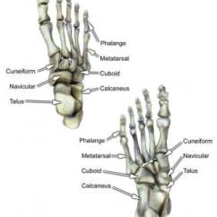 Bones In Your Foot Diagram Towbar Wiring 7 Pin Bone Anatomy Overview Tarsal Gross Of The Dorsal And Ventral Views