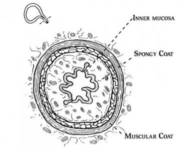 Urinary Incontinence Relevant Anatomy: Urethral Anatomy