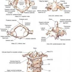 Cervical Vertebrae Diagram How To Read Wiring Diagrams Car Spine Sprain Strain Injuries Background Epidemiology The Atlas And Axis