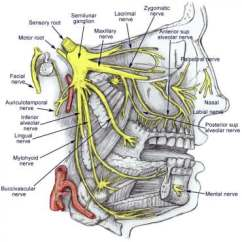 Trigeminal Nerve Diagram 2004 Ford Focus Stereo Wiring Anatomy Gross Branches Of The With Its 3 Main Br