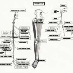 Lower Leg Nerve Diagram Toyota Camry Wiring Peripheral Nervous System Anatomy Overview Gross Supply To The Muscles In Lowe