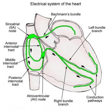 Conduction System Of The Heart Overview Gross Anatomy Natural