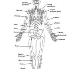Human Bone Structure Diagram Wiring For Ez Go Golf Cart Electric Osteology (bone Anatomy): Overview, Gross Anatomy Of Axial Skeleton