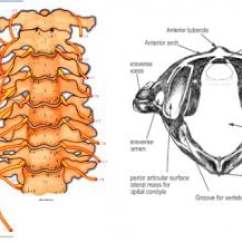 Cervical Vertebrae Diagram 1985 36 Volt Club Car Wiring Spine Anatomy Overview Gross Note Uniquely Shaped Atlas And Axi