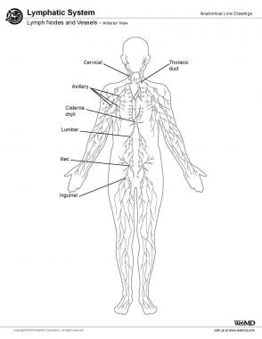 Lymphatic System Anatomy: Overview, Gross Anatomy, Other