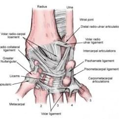 Wrist And Hand Unlabeled Diagram 24v Trailer Socket Wiring Bone 16 Stromoeko De Joint Anatomy Overview Gross Natural Variants Rh Emedicine Medscape Com Bones Human