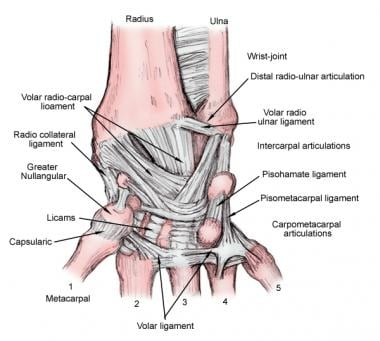 wrist and hand unlabeled diagram maytag electric dryer wiring bone 16 stromoeko de joint anatomy overview gross natural variants rh emedicine medscape com bones human