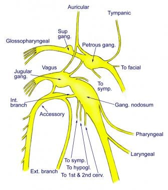 vagus nerve diagram how to do a stem leaf anatomy gross microscopic natural connections of the glossopharyngeal