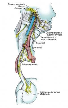 vagus nerve diagram pickup wiring anatomy gross microscopic natural course of the
