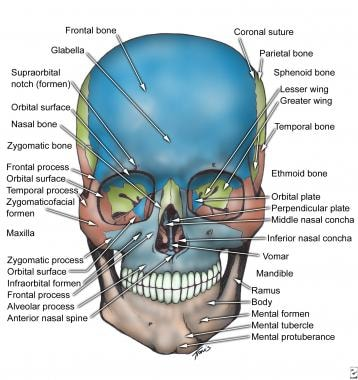 ethmoid bone diagram 240sx wiring stereo facial anatomy overview mandible maxilla skull anterior view