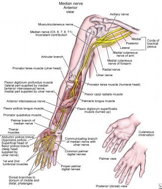 hand nerves diagram human brain cell nerve compression syndromes of the overview anatomy median
