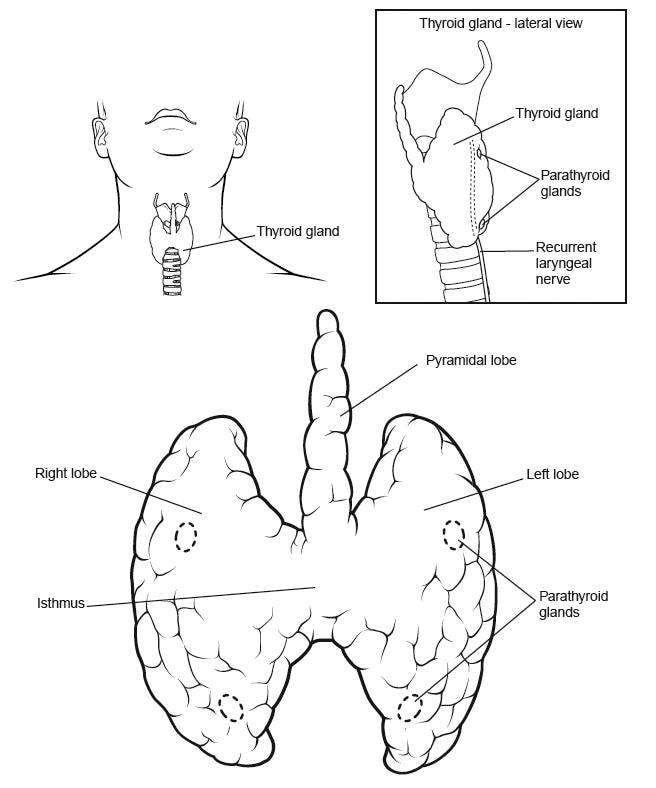 diagrams upper trachea and larynx