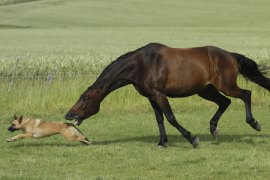 Owners who let their dogs into the paddock with horses risk injury to their pets.