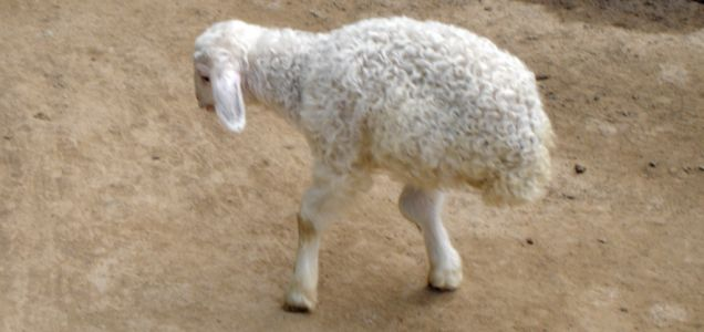 Two-legged lamb in eastern China