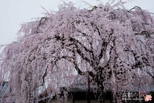 京都賞櫻》本滿寺垂枝櫻超巨大又療癒 附近的鴨川櫻花也開超美