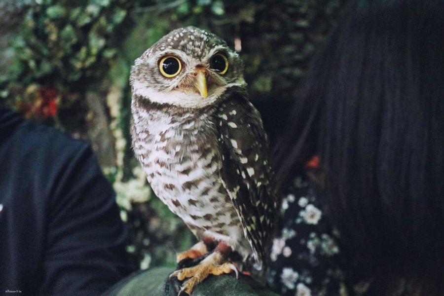 沖繩那霸景點 國際通 ふくろうの楽園 貓頭鷹樂園 與貓頭鷹零距離互動 還有可愛小動物園 只要你敢全都可以摸