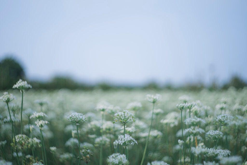 大溪韭菜花田|秘境!九月雪限定 超級夢幻的大溪韭菜花田,雖然有韭菜味