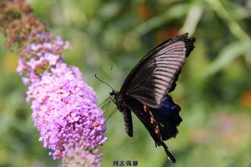 國內最大的蝴蝶園里的美麗蝴蝶【圖】