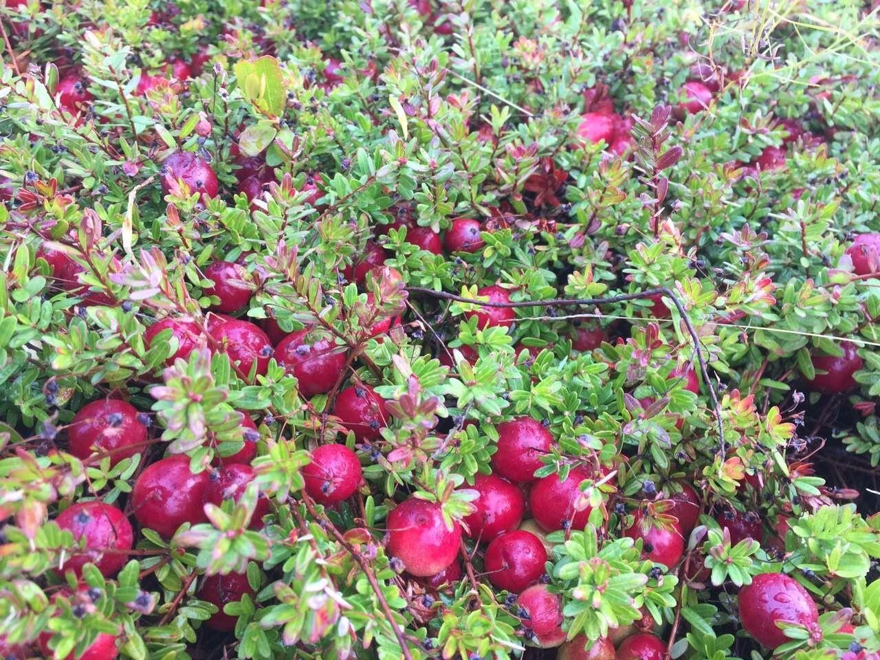 深度解讀 | 蔓越莓是個什么鬼?