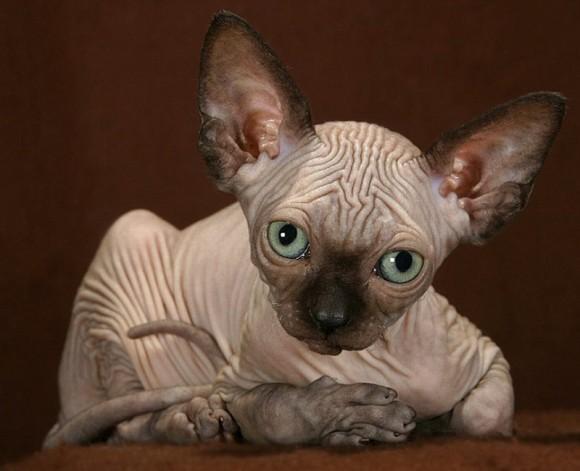 斯芬克斯貓不僅貓身狗心無毛特征又禿又丑還形似ET