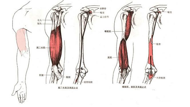 手臂訓練之肱二頭肌訓練_搜狐體育_搜狐網