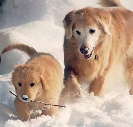 一只喜歡玩雪的金毛。太嗨了!