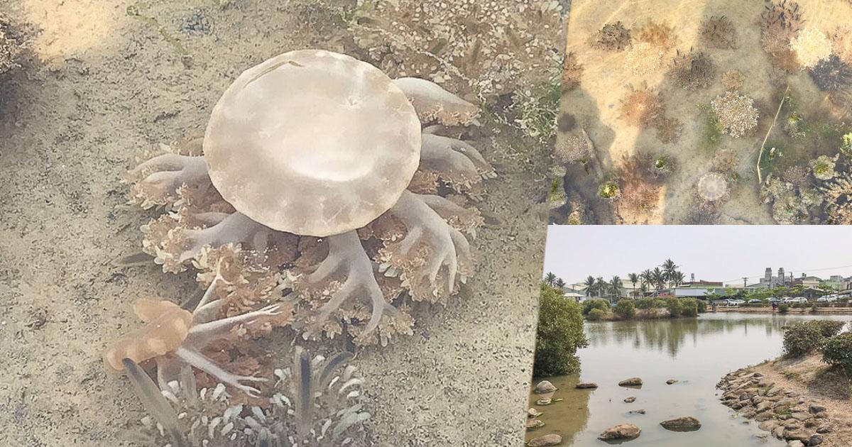 不用跑海生館,濕地水母大爆發浮游.免費入場|林園濕地公園水母湖