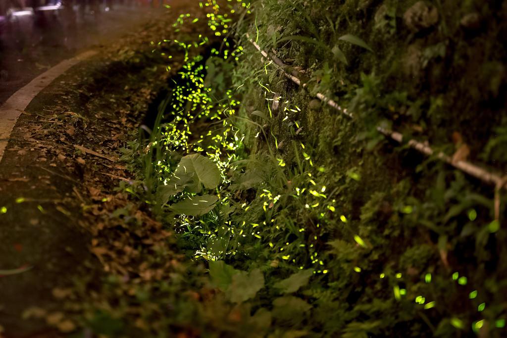 新竹景點 內灣螢火蟲交通、賞螢時間、拍攝教學
