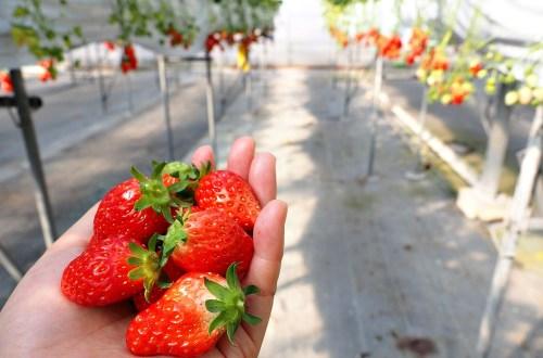 愛知、半田 澤田農園.現採現吃日本採草莓吃到飽體驗