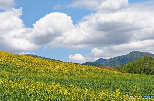 福島、喜多方|三ノ倉高原花畑.徜徉在夏日的金黃浪漫