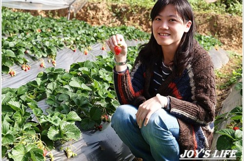 【苗栗 大湖】湖丘有機草莓園 有緣才吃得到的無毒草莓