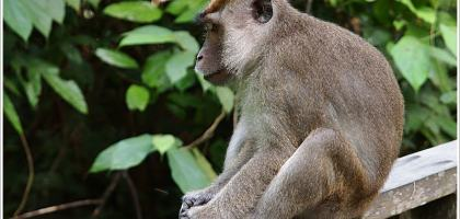 【沙巴山打根】來趟紅毛猩猩親近之旅~