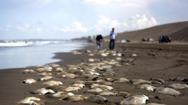 Ratusan pari mati di Pantai Meksiko (Foto: News)