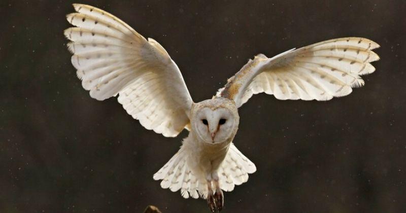 Gambar Burung Hantu Mata Sipit
