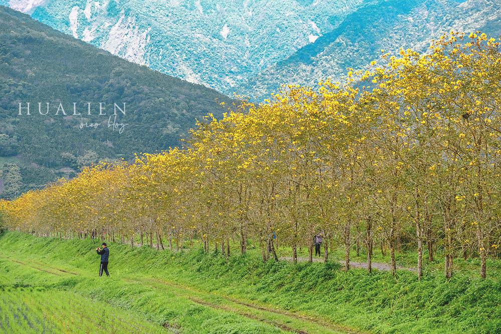 花蓮景點|富源黃花風鈴木~整排的金黃並木~詳細位置與拍攝構圖方式分享