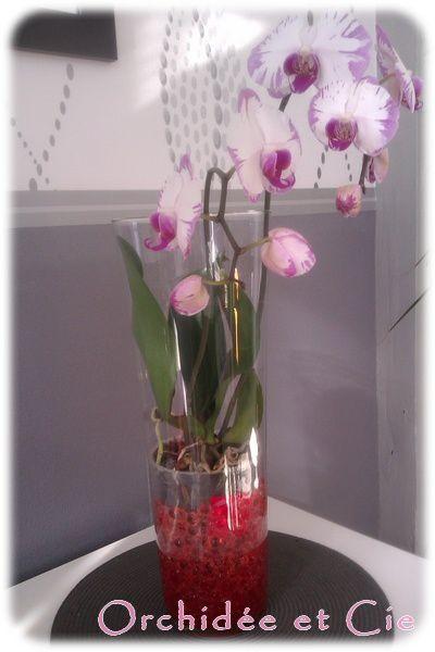 Phalaenopsis N14 Orchide Et Cie