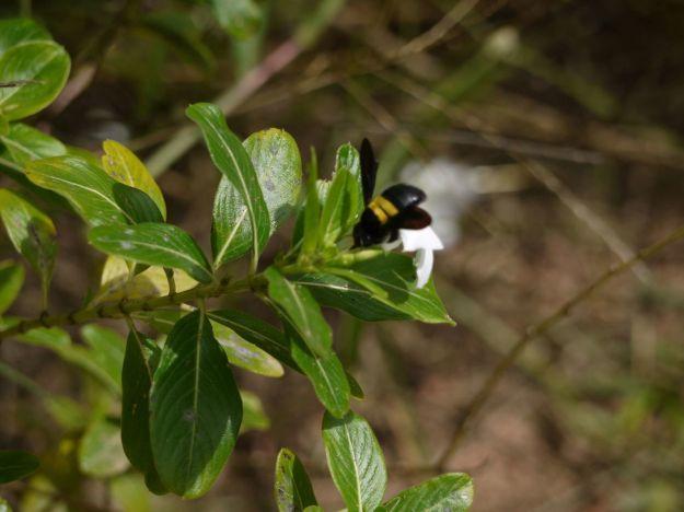 En tout cas, les massifs du jardin, ça a l'air d'être une super bonne came ! Ma voisine m'a dit que c'était une bumblebee, en français une abeille genre bombus. Elle m'a dit que la piqûre de cette abeille est extrêment douloureuse !