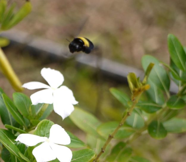 Elle récolte le nectar des fleurs, ben après tout, c'est une abeille...