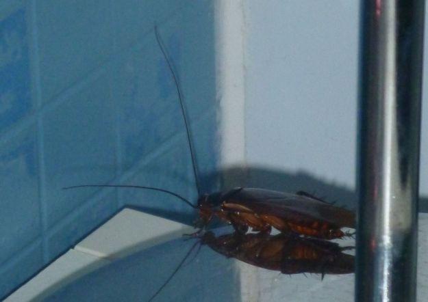 Les blattes vivent environ 6 mois pour les mâles et 9 mois pour les dames (n'insistez pas, je ne ferai pas de commentaire!)