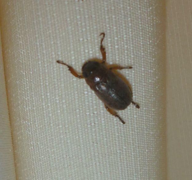 La bébête du lundi : le scarabée qui se met sur le dos quand il a peur !
