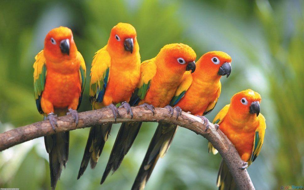 Bildresultat för papegojor på en gren