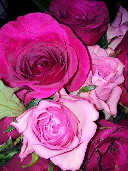 rose d'aquarelle